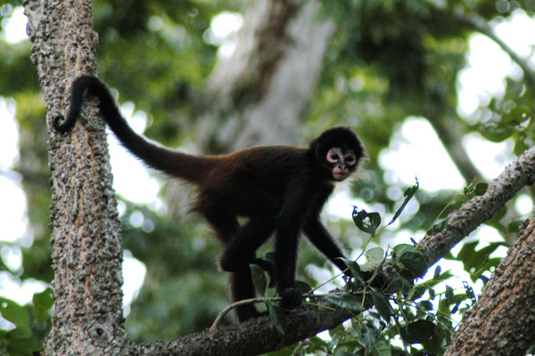 spider monkey spider monkeys of the genus ateles are new